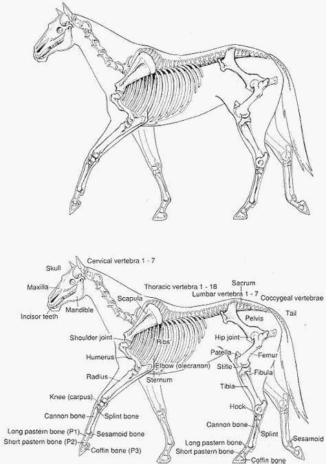 whole horse labeled bones (leading to website with many other diagrams)
