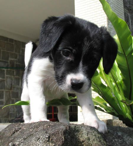 Border Collie Beagle mix - I like to think this is what Gracie looked like when she was a puppy!  <3  More adorable pictures on the website!