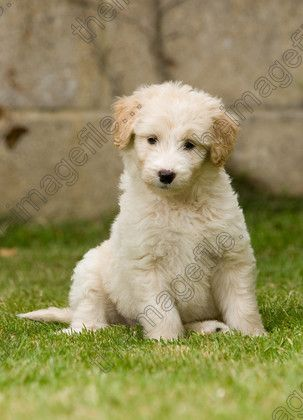 Border Collie X Poodle Cross Or So They Say Animals Dogs Pets