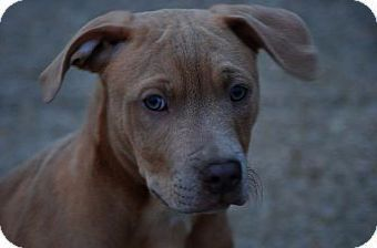 Fantastic Pitbull Mix Puppies For Adoption Excellent Pitbull