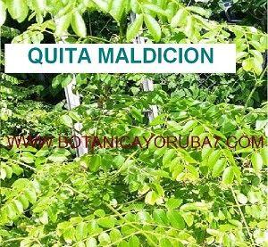 Guayacan hierba para adelgazar
