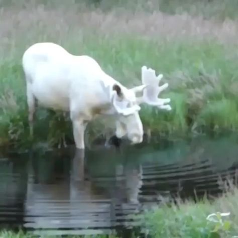 Extremely Rare White Moose Seen In The Town Of Eda, Sweden