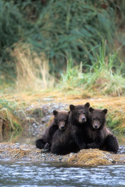 Three grizzly bear cubs wait for the mother while she fishes for salmon at Katmai National Park in Alaska