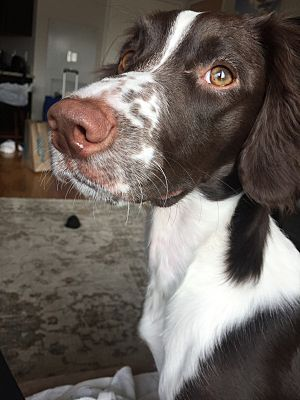 Chicago Il English Springer Spaniel Meet Lily A Pet For Adoption English Springer Spaniel English Springer Pet Adoption
