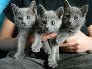 Russian Blue Cats For Sale Perth