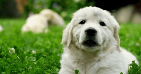 Golden Retriever Image By Savvy Pets For Sale On Savvy Pets For