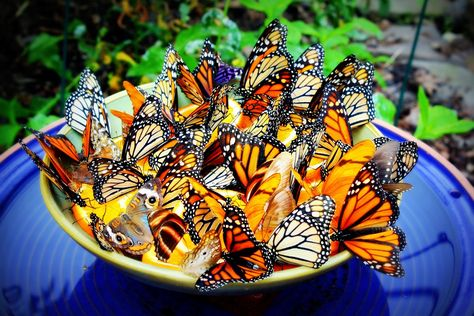 orange slices in a dish, or hanging in a tree, attract butterflies