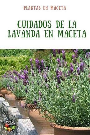 Planta De Lavanda En Maceta