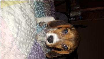 Beagle Puppy For Sale In Colorado Springs Co Adn 26103 On Puppyfinder Com Gender Male Age 4 Months Old Beagle Puppy Puppies For Sale Beagle