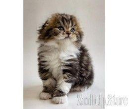 Scottish Kittens Scottish Kittens For Sale Near Me Scottish