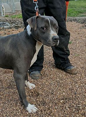 Crenshaw Ms American Staffordshire Terrier Meet Gage A Dog For