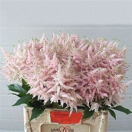Light Pink Astilbe Wholesale Flowers Online Online Wedding Flowers Wholesale Flowers