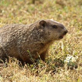 12 Effective Ways To Get Rid Of Groundhogs For Good In 2020 Get Rid Of Groundhogs Praire Dog Groundhog
