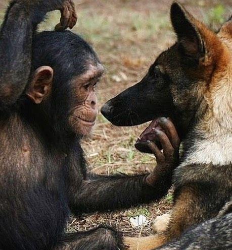 The Cutest Friends Babychimps Chimpanzee Chimpanzees Cute Instacute Instacuteness Unusual Animals Animals Friendship Unlikely Animal Friends