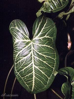 Piante Da Appartamento Syngonium.Syngonium Podophyllum Albolineatum Piante