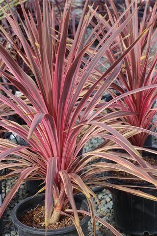 Cordyline A Cherry Sensation Plant Catalogs Plants Fragrant Flowers