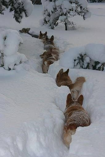 Corgi Trail in Snow! | Cute Pembroke Welsh Corgis in it up to their ears, via Flickr - Photo Sharing! by Julie Andrews