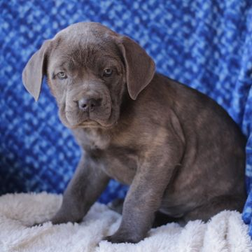 Cane Corso Puppy For Sale In Gap Pa Adn 71685 On Puppyfinder Com Gender Female Age 12 Weeks Old With Images Cane Corso Cane Corso Puppies Puppies