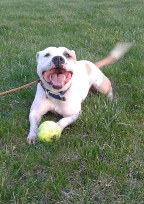 Adopt Apollo On Bull Terrier Dog