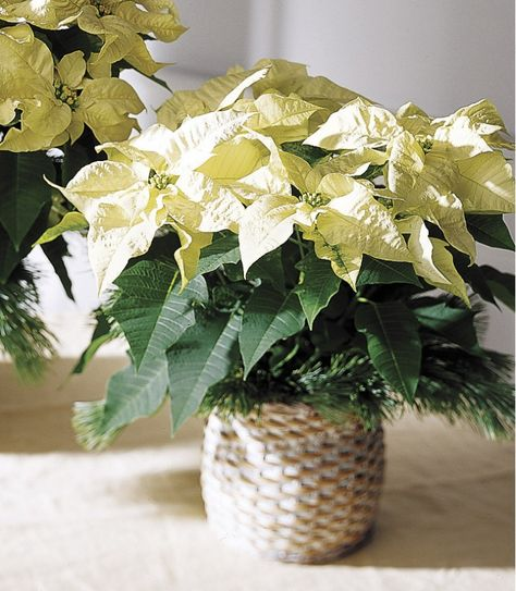 Temperature Range With Images Holiday Flower Arrangements Holiday Flower Christmas Flowers