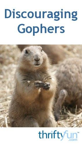 How To Get Rid Of Prairie Dogs In Colorado