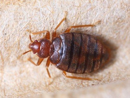 This Is How To Actually Spot A Bed Bug Bed Bugs Treatment Bed