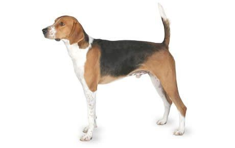American Foxhound Dog Breed Information Pictures Characteristics