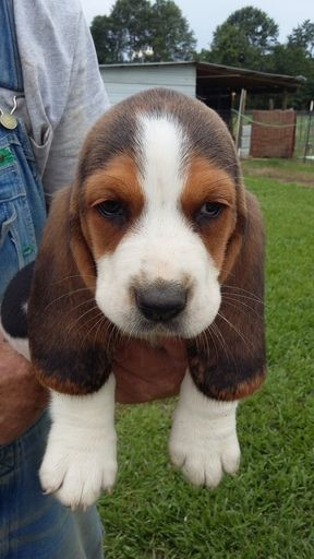 Litter Of 5 Basset Hound Puppies For Sale In Mc David Fl Adn