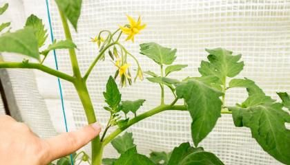 Tomaten Ausgeizen Und Pflegen Schritt Fur Schritt Mit Bildern Paprika Pflanzen Pflanzen Und Wintergemuse Anbauen