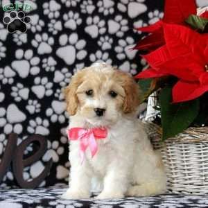 Bridget Cavachon Puppy For Sale In Pennsylvania In 2020 Cavachon Puppies Cavachon Puppies For Sale