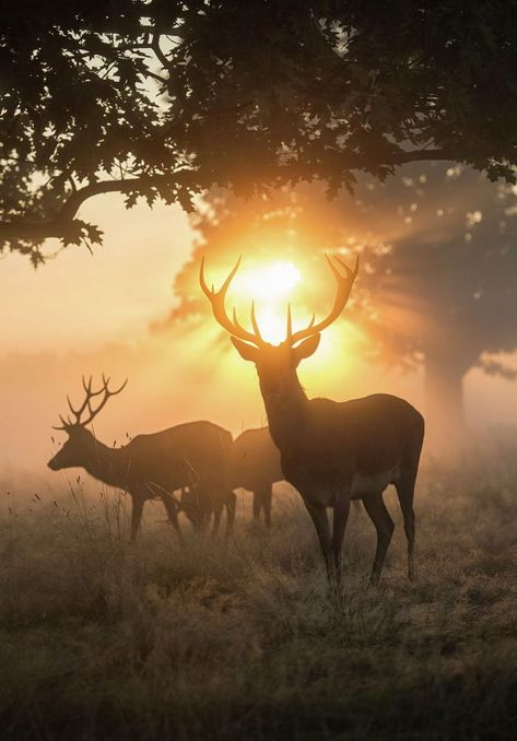 Deer and golden light, Print for sale. Halo of fire, Stag Art by Max Ellis printed on C-Type Matt. Order your high-quality Art Print now, click through and get inspired!