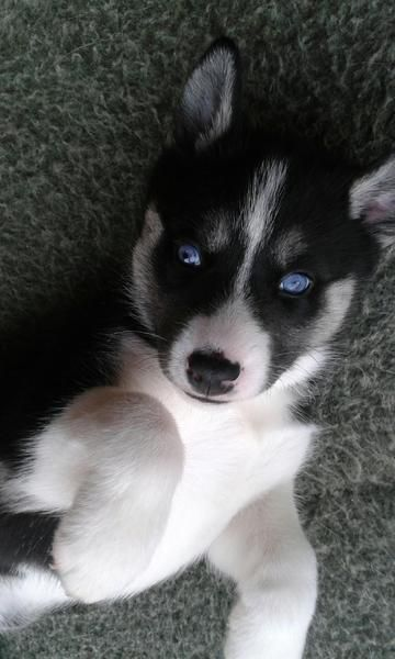 Droll Siberian Husky Black And White With Blue Eyes In 2020 With