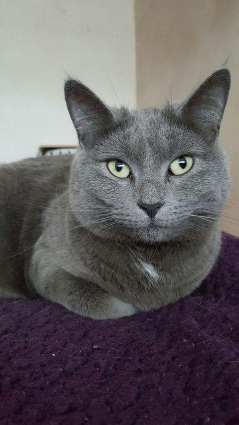 Graue Katze Awesomeness So Cute Mit Bildern Graue Katzen