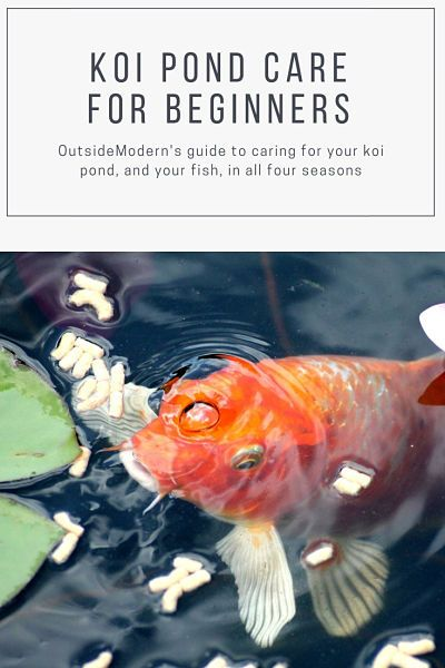 Koi Pond Care for Beginners (A Hobby for Life) | OutsideModern