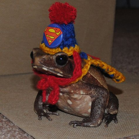 Tiny Superman Hat and Cape for Bearded Dragons Guinea Pigs Ferret Rats Hamsters Birds Frogs Toads Lizards Tiny Halloween Costume by Fancihorse on Etsy Mr Toad, Frog And Toad, Costume Halloween, Superman Halloween, Cute Baby Animals, Funny Animals, Frog Pictures, Cute Frogs, Little Critter