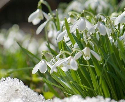 Schneeglöckchen blühen im Frühjahr. Pflanzzeit sind die Herbstmonate.