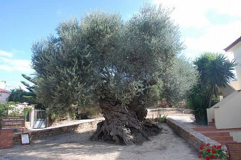 Olive Tree of Vouves, Crete, http://bit.ly/1bXYFQr