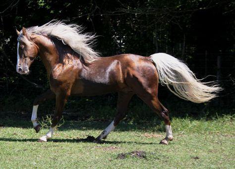 Tennessee Walking Horses - CLOUD 9 WALKERS (Tennessee Walking Horse Mare))