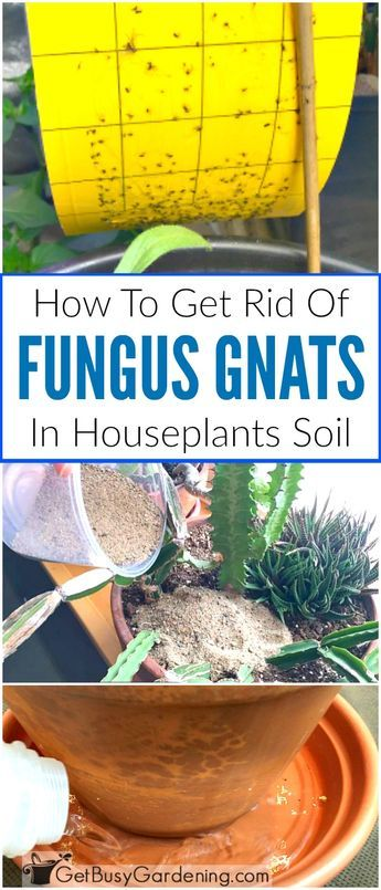 How To Get Rid Of Fungus Gnats In Houseplants Soil Gnats In House Plants Container Gardening Vegetables Organic Gardening Tips