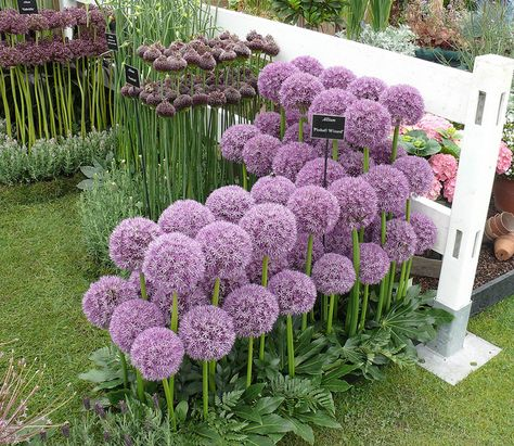 Allium-Pinball Wizard - Hanging By The Seed of My Plants - Exotic Flowers, Purple Flowers, Beautiful Flowers, Allium Flowers, Planting Flowers, Lawn And Garden, Garden Art, Garden Bulbs, Front Yard Landscaping