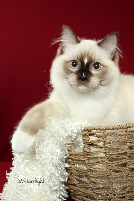Dawson Mcdreamy Is A Seal Mitted Ragdoll With A Blaze A White Line On The Face That Can Show In The Mitted Cat Ragdoll Cat Cats And Kittens Crazy Cats