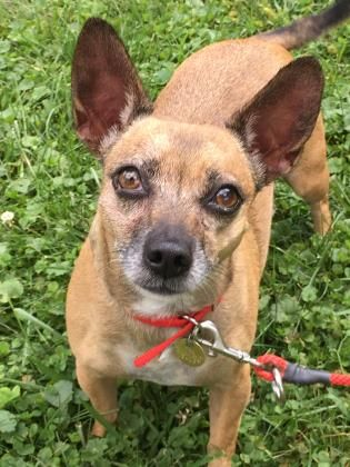 Adopt Gracie A Lovely 5y 2m Terrier Mix Available For Adoption At Petango Com Pitbull Terrier Dog Adoption Terrier Mix