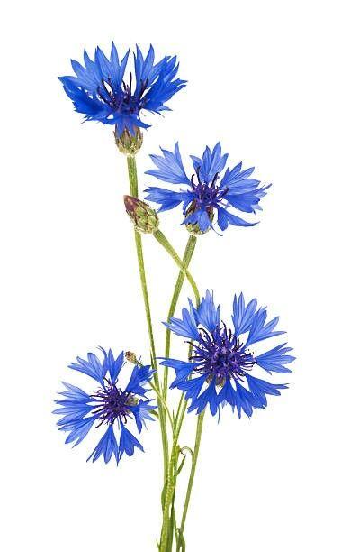 Cornflowers Watercolor Flowers Flower Painting Flowers