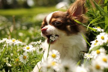 Portrait Of Chihuahua Dog Eating Flowers In A Garden Puppy Pictures Chihuahua Dogs Puppies