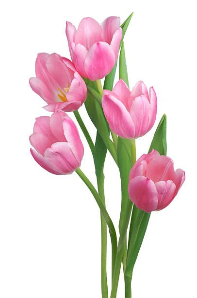 A Loose Bunch Of Beautiful Pink Tulips All Fully Open Isolated On Tulips Art Watercolor Tulips Tulip Painting