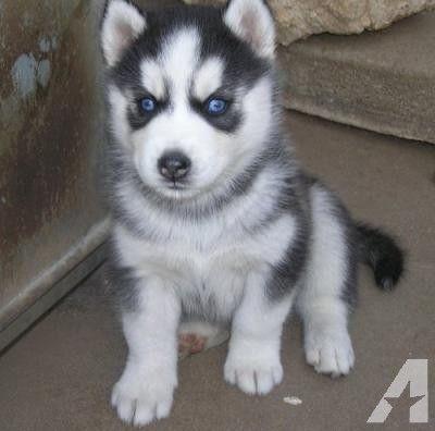 Husky Puppy Siberian Husky Puppies Husky Puppies For Sale Puppies Free Puppies Puppi In 2020 Husky Puppies For Sale Siberian Husky Puppies Husky Puppy