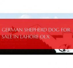 German Shepherd Dog For Sale In Lahore Olx Deutscher Schaferhund