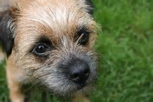 Puppies And Adolescent Border Terriers Are Very Active But Will
