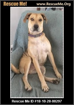 Florida Black Mouth Cur Rescue Adoptions Rescue Me Black Mouth Cur Dog Black Mouth Cur Adoption