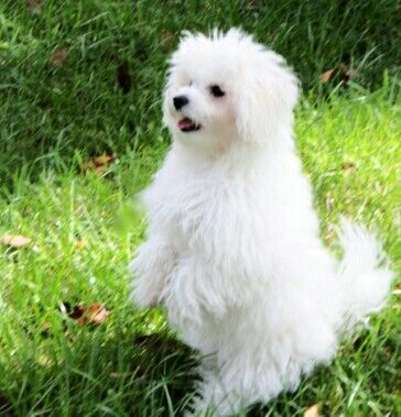 Very Cute Bolonese They Really Look Like A Maltese And I Love